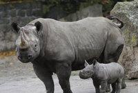 Nosorožce zachrání umělé oplodnění: Vědci přišli se zásadním průlomem