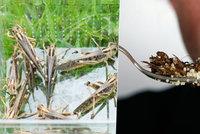Hmyz na talíři a mouka z mletých cvrčků: Od ledna realita tuzemských kuchyní?
