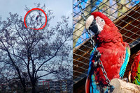 Pestrobarevný holub? Kdepak! Na stromě v Bohnicích posedával papoušek, venčil ho páníček