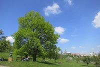 Lípa jako symbol odporu k Němcům: Nadšenci hledají ke 100. výročí republiky zapomenuté stromy