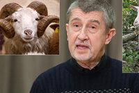 Čapí hnízdo bere dotace na ovce i kozy. Babiš: Nemám s tím nic společného