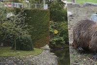 Na pohled roztomilé, vskrytu škůdci: Praha 22 odrazuje od vykrmování nutrií
