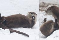 Nadšení v pražské zoo: Vydry si užívaly sněhový wellness! Byla to poslední nadílka letošní zimy?