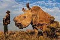 Uhynul poslední bílý nosorožec: Samce Sudána z Dvora Králové hlídala i armáda