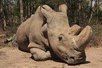 Nadějí na záchranu nosorožců je umělé oplodnění. Máme i kmenové buňky, říká šéf zoo