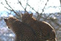 Rozbřesk a Hrůza: Levharti cejlonští se v brněnské zoo narodili po 17 letech