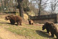 Čtyři šelmy na útěku? Medvědi v chomutovské zoo se podhrabali pod plotem