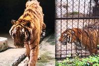 Ošetřovatele (†50) v zoo roztrhal tygr! Zvíře ho napadlo, když mu čistil klec