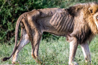 Srdceryvné foto z afrického safari: Vyhublá troska bývala králem džungle. Příběh lva má smutný konec