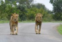V Německu utekli ze zoo tygři, lvi i jaguár. Pomohla jim bouřka