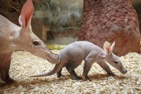 Kluk, nebo holka? Zoo Praha o víkendu odhalí pohlaví hrabáče, budou křtiny