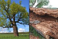 Žižkův dub padl! Památný strom na Plzeňsku zničila dřevokazná houba