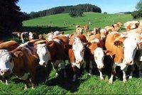Splašené stádo krav v Jílovém málem ušlapalo ženu! Vrtulník ji vážně zraněnou převezl do Motola