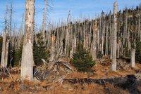 Kůrovec pustoší lesy na Moravě. Inspekce dala státní firmě milionovou pokutu
