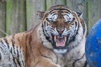 Razie kvůli nelegálnímu zabíjení tygrů: V Berouskově zooparku i Sapě zasahují celníci