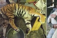 Kauza tygřích jatek míří k soudu: Státní zástupce obžaloval tři muže včetně Berouska