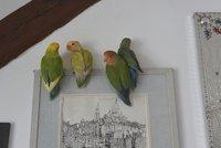 Papouščí útěk: Barevný páreček se potloukal po Dejvicích. Sameček už je doma, jeho partnerka ale pořád někde lítá