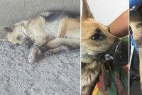 Fotky, které rvou člověku srdce: Hyena svázala fenku do kozelce a pohodila pod mostem, na smrt čekala čtyři dny