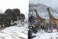 Unikátní záběry: Žirafy a sloni se brodí sněhem, Jižní Afriku zasáhl mráz
