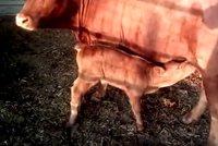 Narodila se vzácná rudá kráva. Bible slibuje nového Mesiáše i příchod apokalypsy