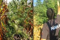 Policisté odhalili síť pěstíren marihuany: Záběry ze zásahu jako z Hollywoodu