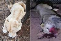 Tragická smrt lvího krále Musafy: Pytláci mu uřezali nohy a čumák!