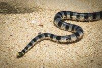 Had zabil muže (†23), na kterého vypadl ze sítě. Jeho smrt je raritou