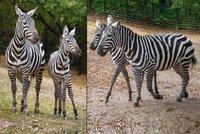 Vzácnost v pražské zoo: Nový domov tu našly hříbě Kevin a klisna Klea, ohrožené zebry bezhřívé