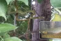 VIDEO: Už ji mají! Jedovatou mambu odchytil pracovník zoo. Plazila se v zahrádkářské kolonii v Hlubočepích