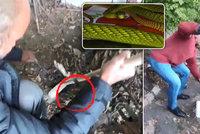 VIDEO: Takhle honili jedovatou mambu! Šli na ni se smetákem, had se bránil