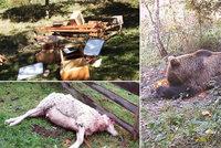 Medvěd na Valašsku bloudí hustě obydlenou oblastí: Budou ho odchytávat do speciální klece