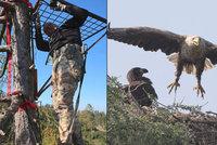 Orlům na Klatovsku spadlo hnízdo: Zvířecí záchranáři jim na modřínu vyrobili umělou podložku