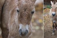 Zázrak v pražské zoo: Na svět přišlo hříbátko koně Převalského, je to nejspíš kluk jako buk