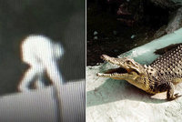 V krokodýlím výběhu našli boty, kraťasy a krev: VIDEO odhalilo něco šokujícího