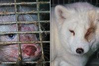 Kožešinová farma hrůzy! Aktivisté našli lišky a norky trpět v příšerných podmínkách