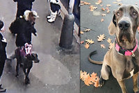 Únos psa v Praze: Obří dogu muž odvedl od obchoďáku, procházel se s ní po ulicích