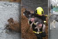 Slepá fenka s cukrovkou přešlapovala na suché trávě uprostřed řeky: Pro Maggie vlezli hasiči