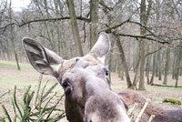Patnáct stovek stromků spořádají zvířata z brněnské zoo: Nejvíc šmakují žirafám a losům