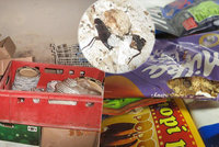 "Mrtvé krysy, ohlodané potraviny a výkaly: Inspektoři v restauracích ""valili"" bulvy"