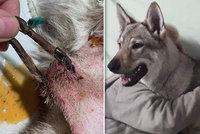 Wolfovi tyranský majitel zacvakl do krku karabinu! Pejsek musel podstoupit operaci