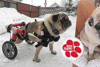 Velký Coudyho den: Po třech letech živoření dostal ochrnutý psík vozíček!