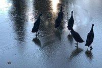 Zima, jako když praští. Hasiči zachraňovali za Prahou přimrzlé kachny