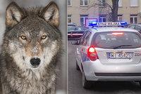 Strážníci se nestačili divit. Místo zraněného psa našli na ulici ve Varšavě vlka