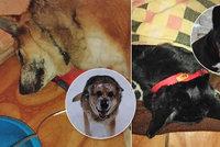 Nechutný útok traviče: Fenky z Hradce umíraly v krutých bolestech! Jed jim někdo hodil přes plot