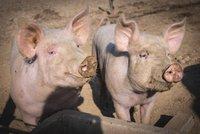 Farmářku (†56) sežrala zaživa její prasata. Při krmení omdlela a spadla do chlívku
