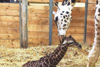 Flekatý přírůstek v pražské zoo: Žirafa Eliška porodila mláďátko!