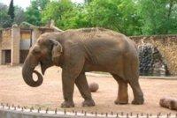 Žila 43 let bez samce. Nejsmutnější slonici zmítanou depresemi utratili