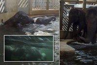 VIDEO: Světová rarita v pražské zoo: Slůně Rudi do toho jde po hlavě! Do bazénu skáče šipky