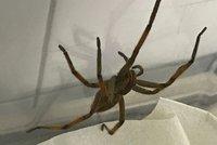 Jedovatý pavouk v krabici s banány! Osminohý turista urazil 10 tisíc kilometrů, skončil v pražském útulku
