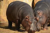 Šok z ostravské zoo: Hrochů je moc, vybíjejí se! Musí se hlídat genetika a do Afriky nemohou